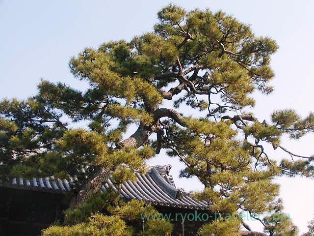 Pine tree1, Sengakuji temple (Sengakuji)