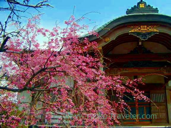 Cherry blossom1, Hokekyo-ji (Shimousa Nakayama)