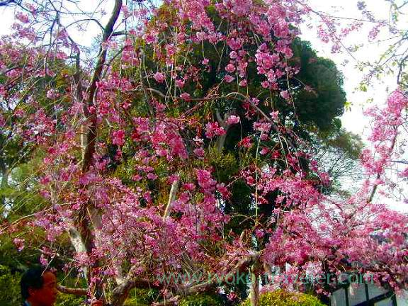 Cherry blossom2, Hokekyo-ji (Shimousa Nakayama)