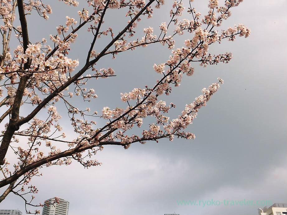Cherry blossoms, Harumi Toriton (Kachidoki)