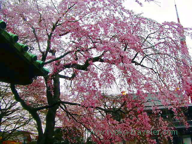 Cherry blossoms1, Zojoji temple (Shiba)
