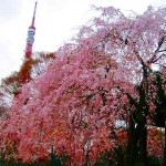 Shiba : Zojoji temple and cherry blossoms