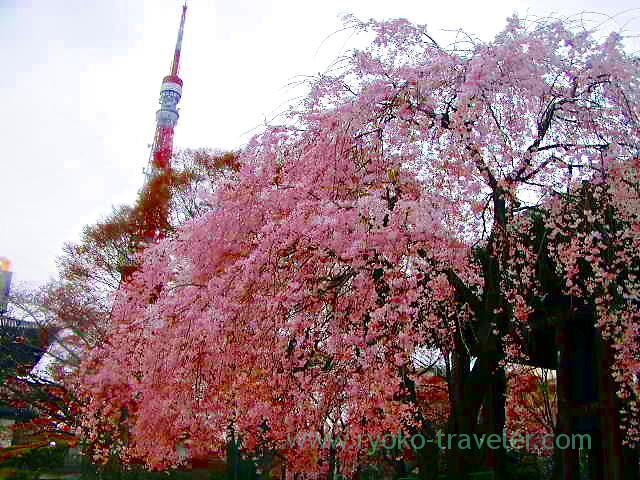 Cherry blossoms3, Zojoji temple (Shiba)