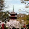 Shimousa Nakayama : Cherry blossoms in Seicyuzan Hokekyo-ji temple