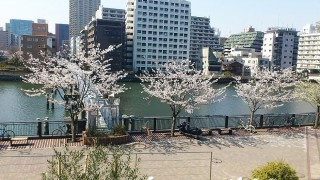 Kachidoki : Cherry blossoms in Harumi in bloom !