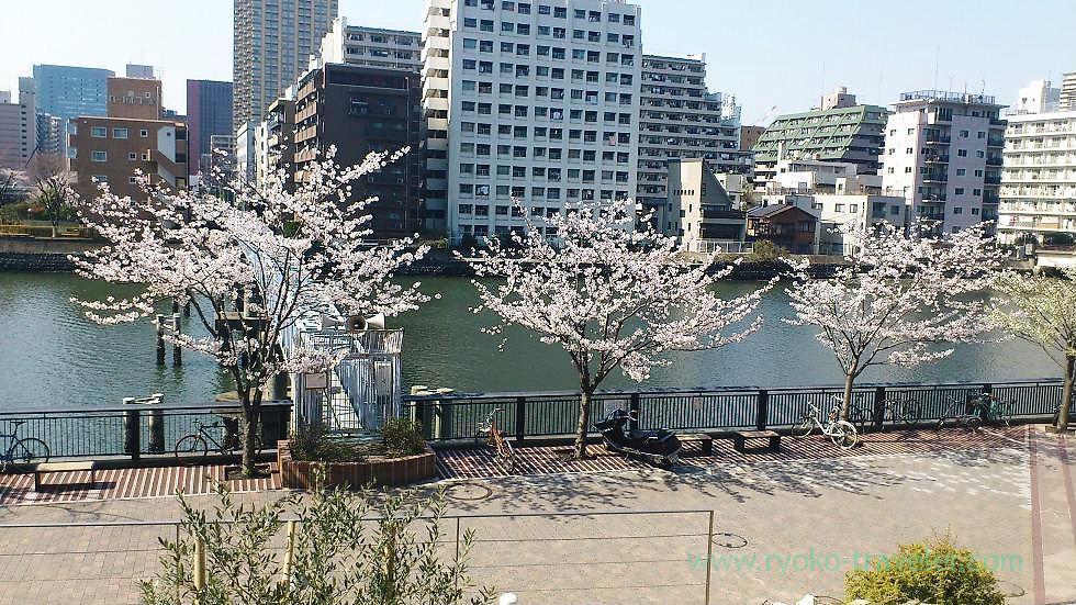 Lots of cherry trees, Harumi Toriton (Kachidoki)