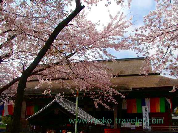 Main worship hall and cherry blossom, Hokekyo-ji (Shimousa Nakayama)