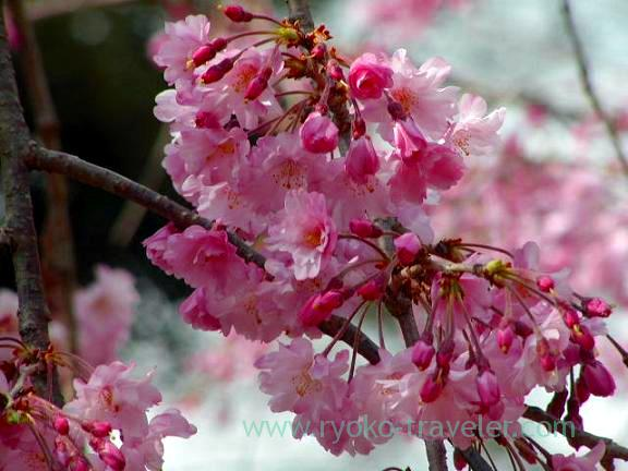 Pink cherry blossom, Hokekyo-ji (Shimousa Nakayama)