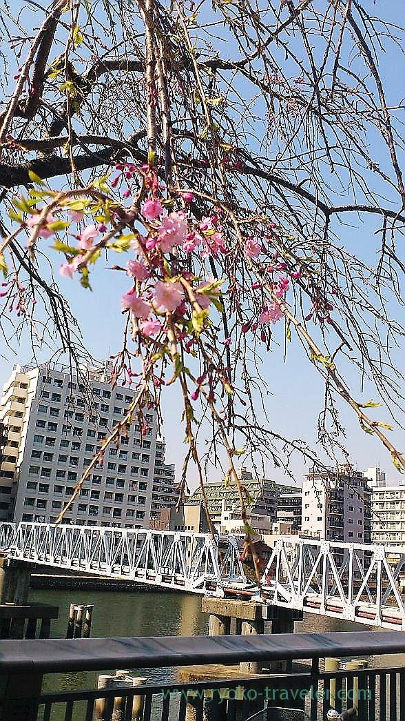 Weeping cherry tree, Harumi Toriton (Kachidoki)