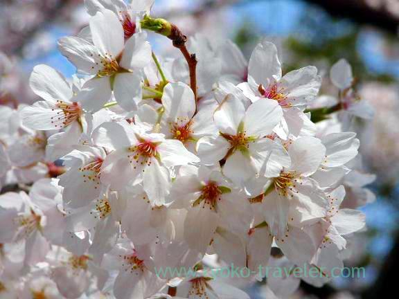 White cherry blossom, Hokekyo-ji (Shimousa Nakayama)