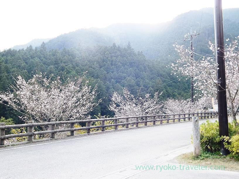 Cherry blossoms nearby, Sawarabi-no-yu (Naguri)
