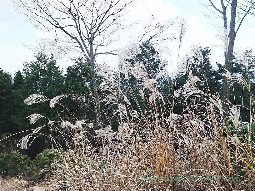 Japanese pampas grass  nearby, Sawarabi-no-yu (Naguri)