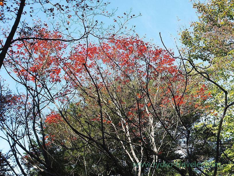 Lots of maple leaves, Mt.Warabi(Naguri)
