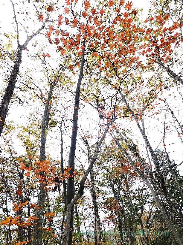 Maple, Mt.Warabi (Naguri)