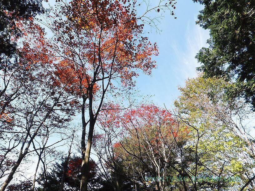 Maple leaves, Mt.Warabi(Naguri)