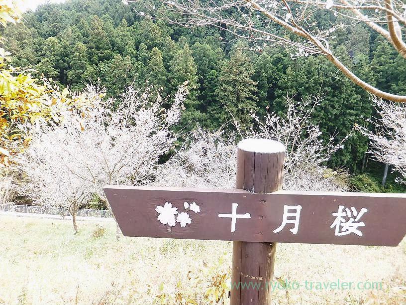 October cherry blossoms nearby, Sawarabi-no-yu (Naguri)