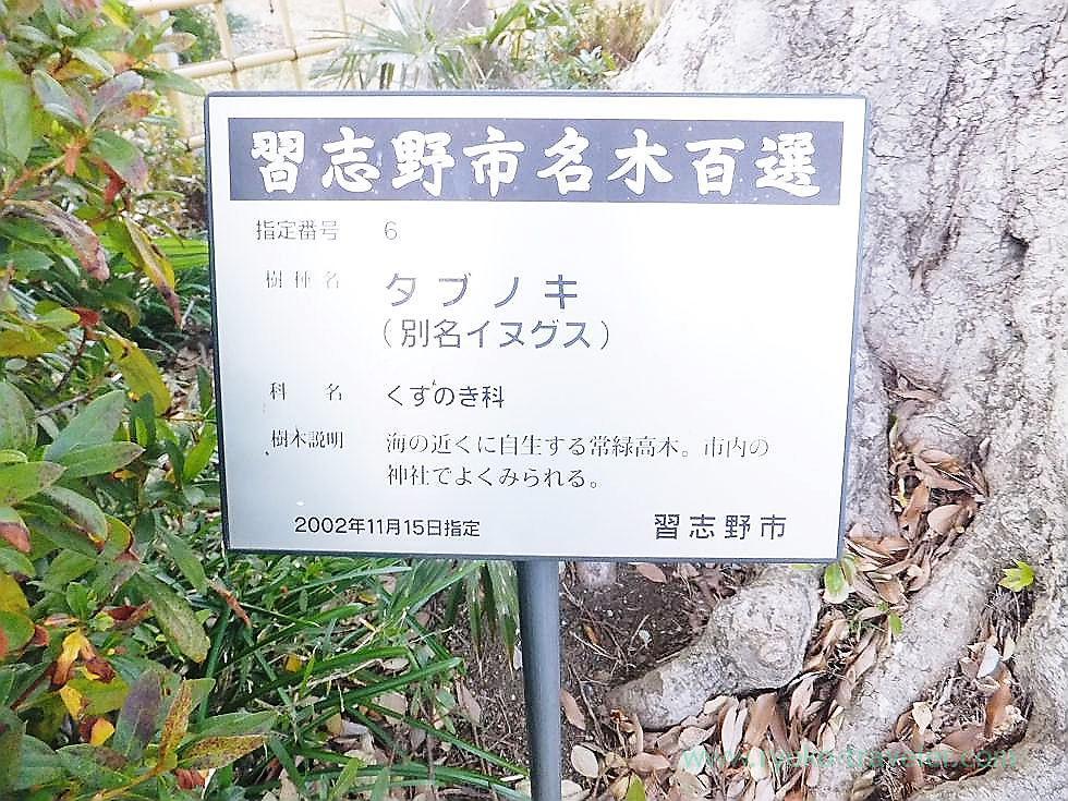 About camphor tree, Saiko-ji temple, Narashino Shichifukujin2012 (Tsudanuma)