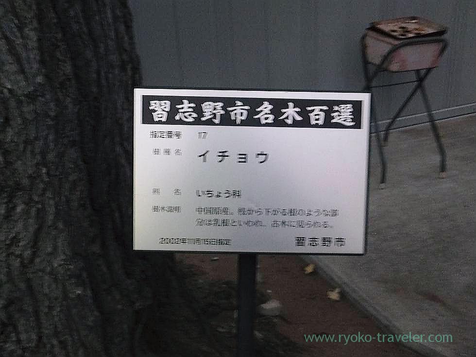 About ginkgo nut tree, Tozenji temple , Narashino Shichifukujin2012 (Tsudanuma)