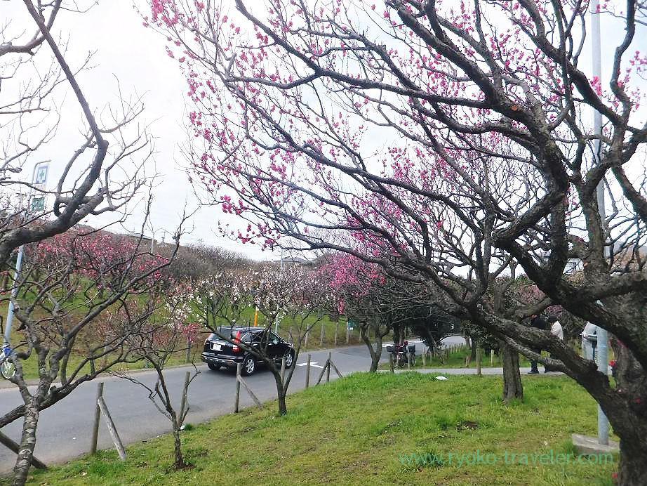 Plum blossoms1, Narashino Bairinen (Keisei Okubo)
