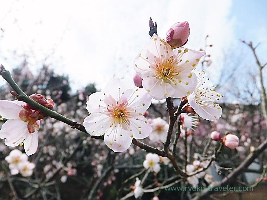 Plum blossoms11, Narashino Bairinen (Keisei Okubo)