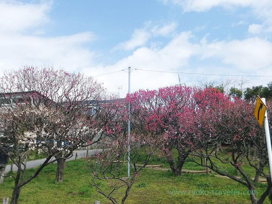 Plum blossoms3, Narashino Bairinen (Keisei Okubo)