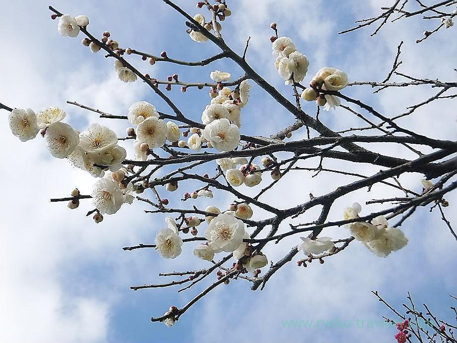 Plum blossoms4, Narashino Bairinen (Keisei Okubo)