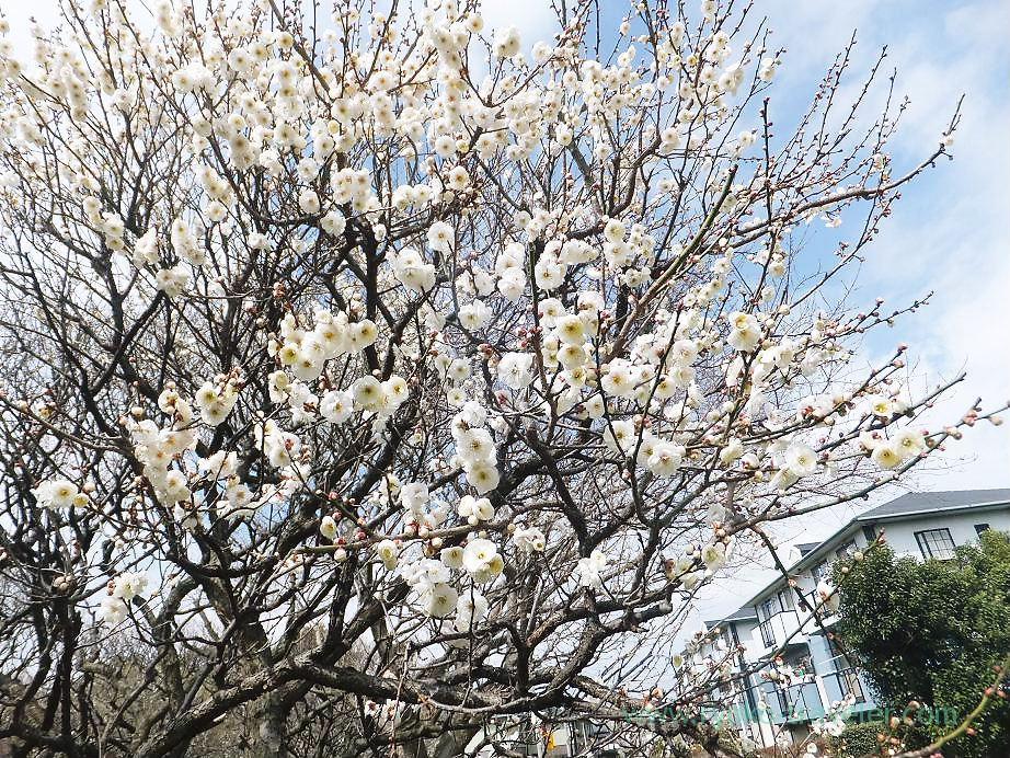Plum blossoms5, Narashino Bairinen (Keisei Okubo)