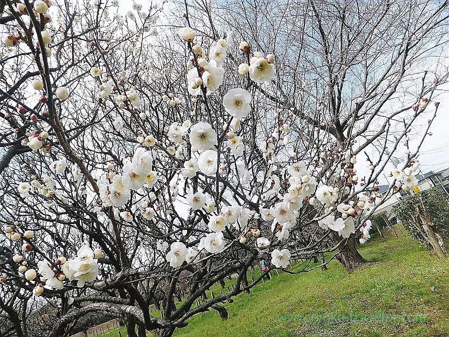 Plum blossoms6, Narashino Bairinen (Keisei Okubo)