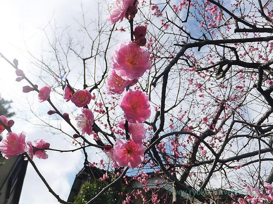 Plum blossoms9, Narashino Bairinen (Keisei Okubo)