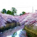 Motoyawata : Cherry blossoms around Mama river