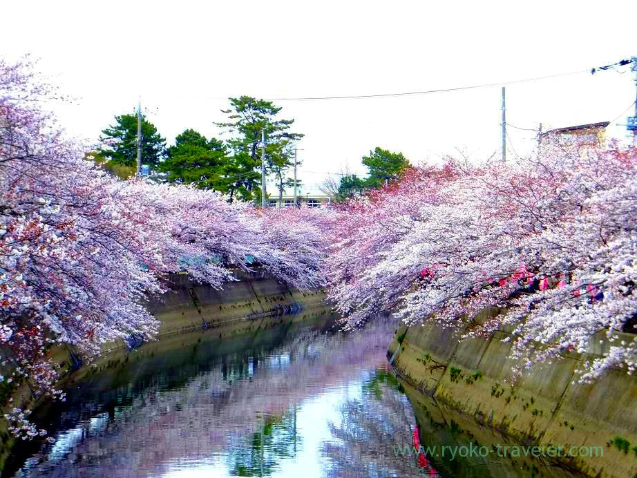Cherry blossoms 3, Mama river (Motoyawata)