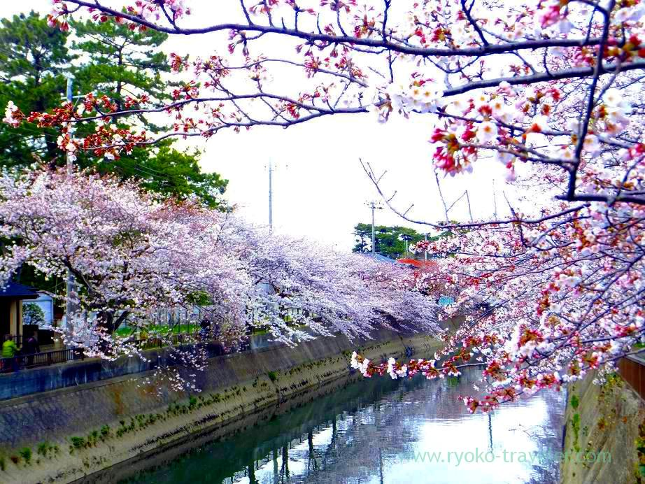 Cherry blossoms 4, Mama river (Motoyawata)