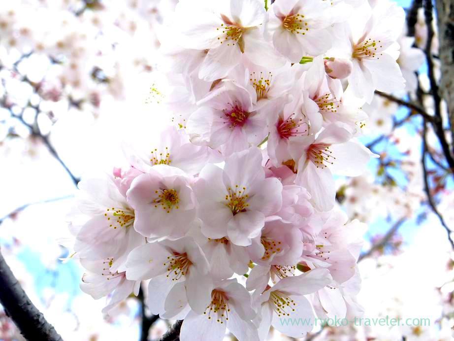 Cherry blossoms 5, Mama river (Motoyawata)