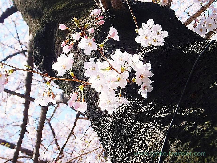 Cherry blossoms festival 3, Yasukuni Jinja shrine (Ichigaya)