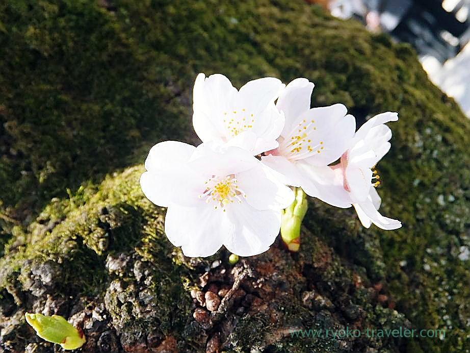 Cherry blossoms festival 4, Yasukuni Jinja shrine (Ichigaya)