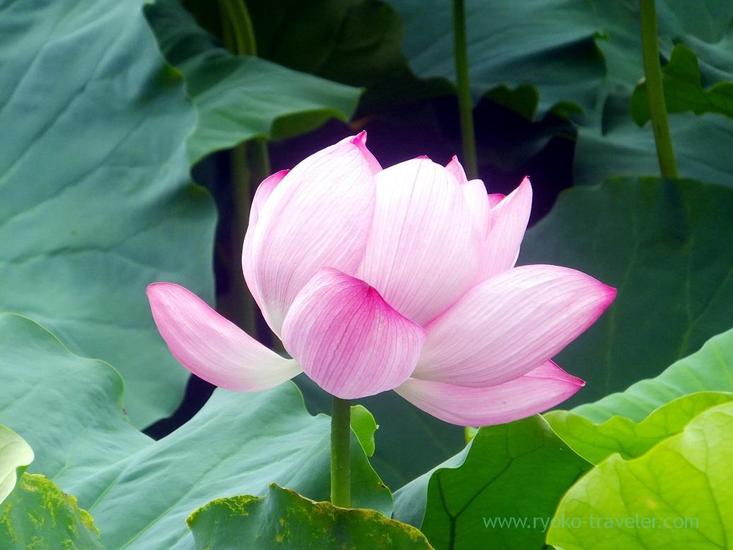 Lotus, Ueno park (Ueno)