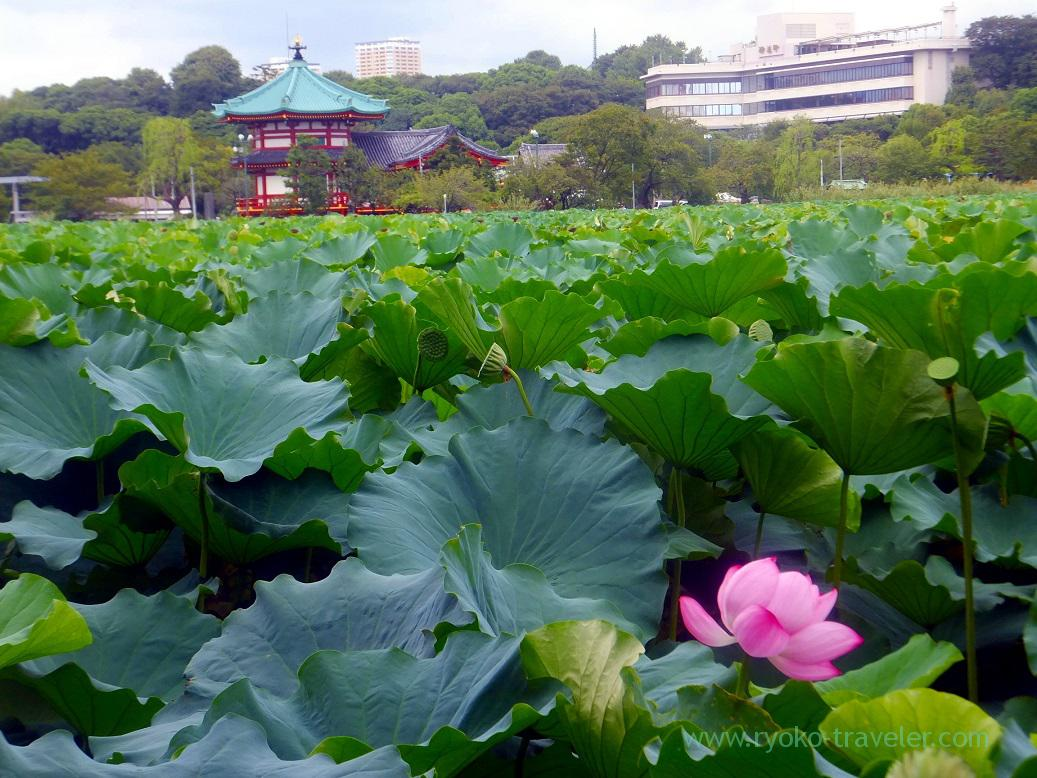 Lotus in the pond, Ueno park (Ueno)