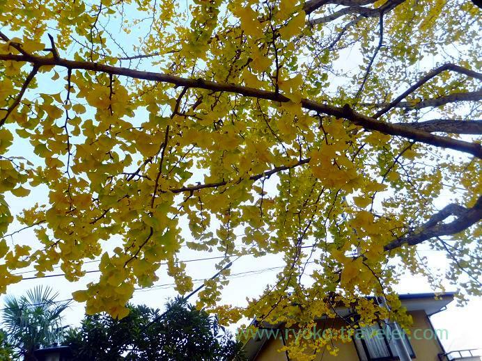 Gingkoo trees, Katsushika Hachimangu shrine (Motoyawata)