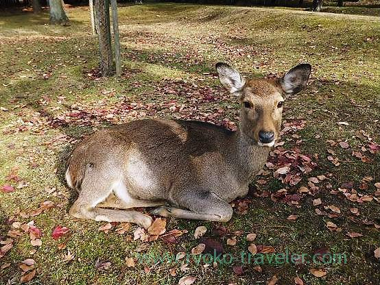 Deer, Todaiji temple (Nara)