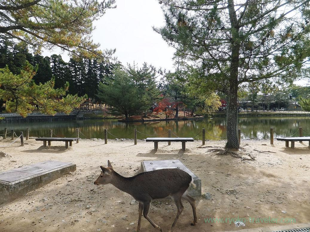 Deer and water, Todaiji temple (Nara)