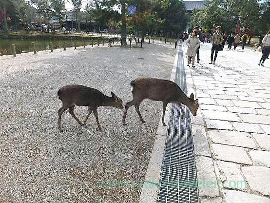 Deer family, Todaiji temple (Nara)