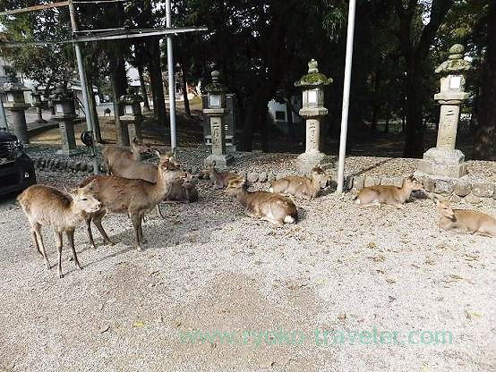 Lots of deer, Todaiji temple (Nara)