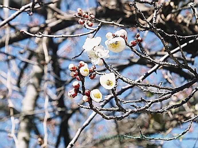 Plum blossoms, Nagatoro station (Nagatoro)