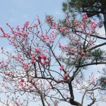 Keisei Okubo : Narashino Bairinen near my house 2013