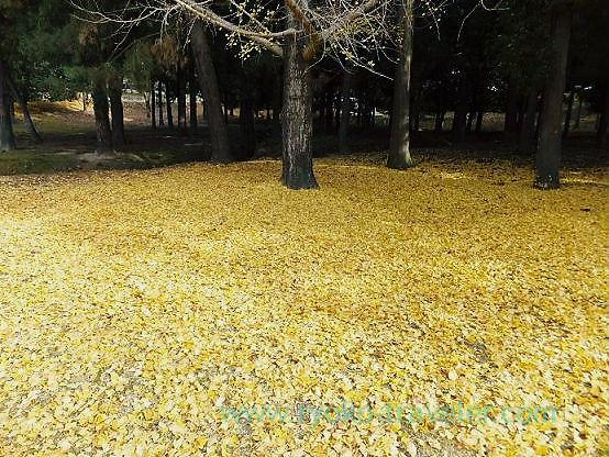 Yellow carpet, Nara park (Nara)