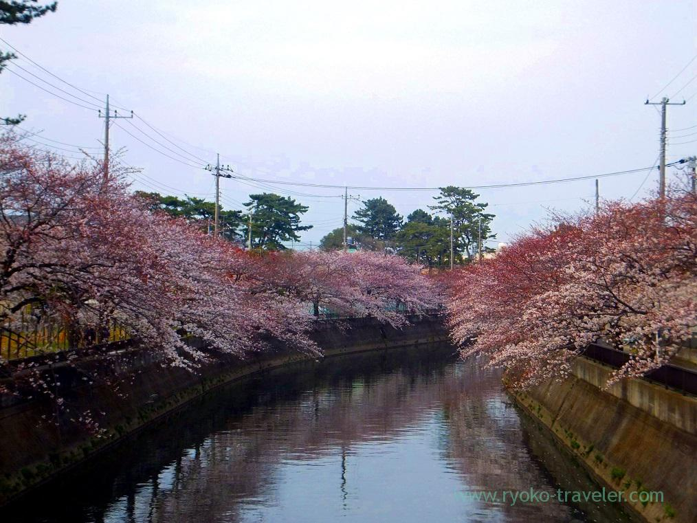 Cherry blossoms1, Along Mama river(Motoyawata)