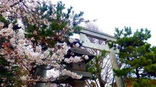Motoyawata : Cherry blossom this year
