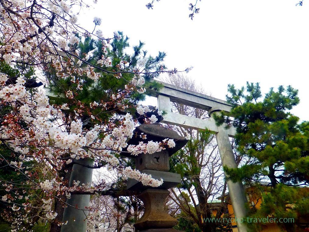 Cherry blossoms1, Katsushika Hachimangu shrine (Motoyawata)