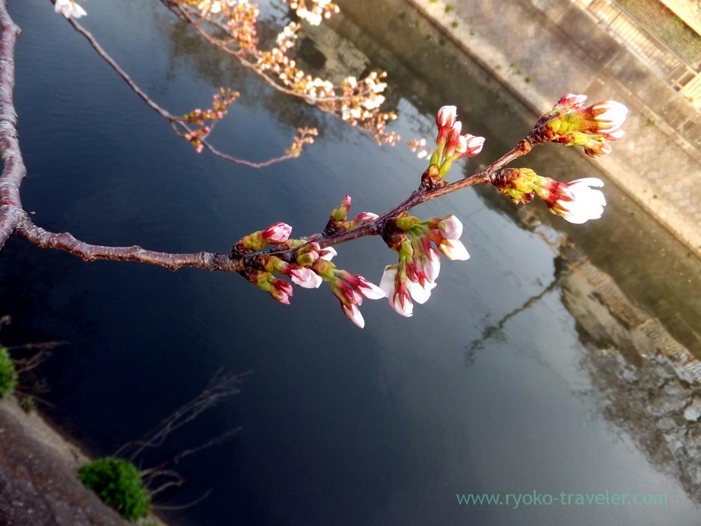 Cherry blossoms2, Along Mama river(Motoyawata)