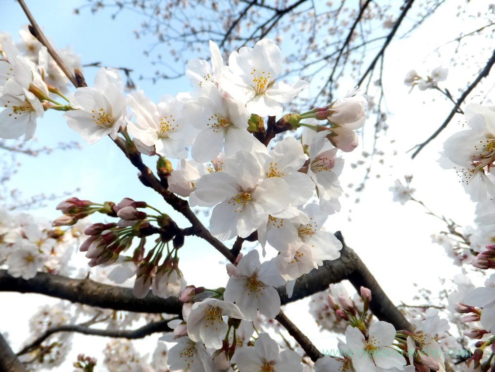 Cherry blossoms3, Along Mama river(Motoyawata)